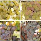 Grapes in different stages